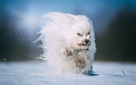 Preview wallpaper Furry white dog running, snow, winter