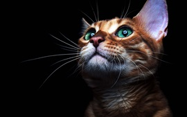 Preview wallpaper Green eyes cat look up, black background