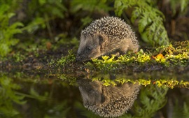 Preview wallpaper Hedgehog, water, moss, reflection