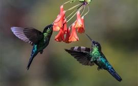 Hummingbird, two birds, flight, wings, flowers