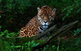 Jaguar, matorrales, verano