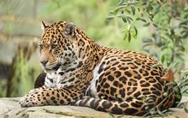 Jaguar, wild cat, animals photography