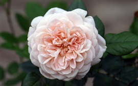Light pink rose flowering