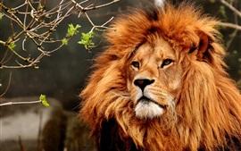 預覽桌布 獅子,臉,鬃毛