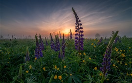 Lupin, purple flowers, dawn