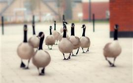 Многие утки ходят по улице
