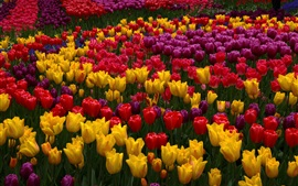 Many tulip flowers, garden, pink, yellow, red, purple