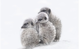 Meerkats cubs, white background