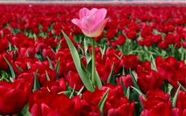 Netherlands, red tulips field, one pink flower