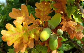 Preview wallpaper Nuts, fresh acorn, oak tree, leaves, autumn