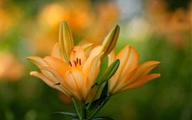 Lírio de pétalas de laranja