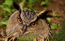 Preview wallpaper Owl look at you, face, eyes