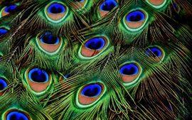 Preview wallpaper Peacock feathers macro photography