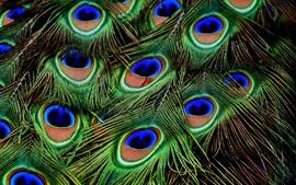 Plumas de pavo real macro fotografía
