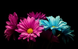 Preview wallpaper Pink and blue petals daisy, black background