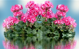 Pink flowers, water, reflection