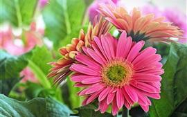미리보기 배경 화면 핑크 거베라 꽃, 녹색 잎