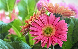 Gerbera rosa flores, folhas verdes