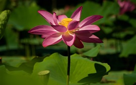 Preview wallpaper Pink lotus, leaves, summer