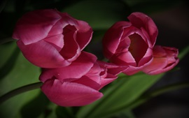 Preview wallpaper Pink tulips, flowers, darkness