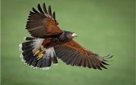 Хищник, орел, крылья, зеленый фон