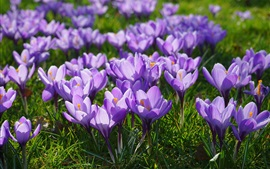 Preview wallpaper Purple crocuses bloom, spring