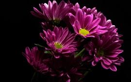Purple daisy, black background