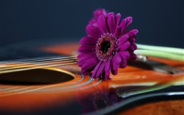 Purple daisy, guitarra