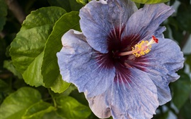 Preview wallpaper Purple hibiscus flower macro photography
