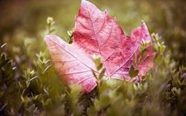 Preview wallpaper Purple maple leaf, grass