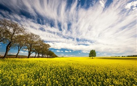 Rapeseed flowers, trees, field, clouds, summer
