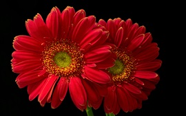 Preview wallpaper Red gerbera flowers, black background