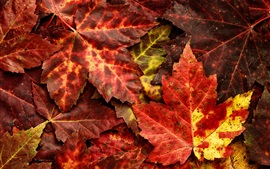 Red maple leaves, autumn