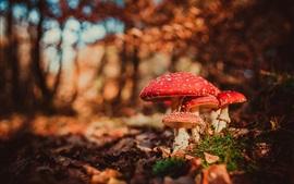 Setas rojas, amanita, árboles, otoño