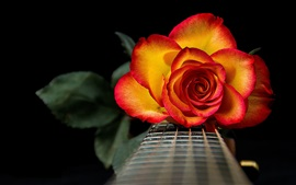 Red-orange petals rose flower, guitar, strings