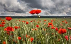 Campo de flores de papoula vermelha, verão