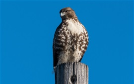 Preview wallpaper Red-tailed buzzard, eagle, blue sky, stump