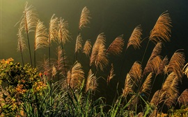Preview wallpaper Reeds, spikelets, plants