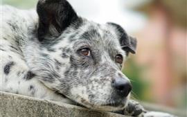 Sadness dog, face, brown eyes