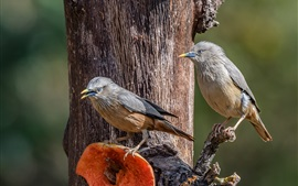 Preview wallpaper Siberian Starling, birds, tree