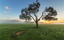 Single tree, grass, fog, sunrise, morning
