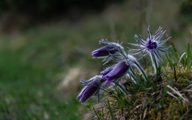 Sleep-grass, purple flowers, spring