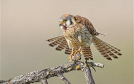 Sparrow kestrel, birds