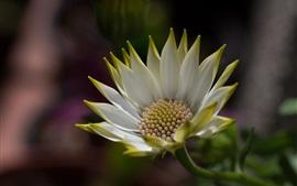 Весенний цветок, африканская ромашка, гербера, белые лепестки