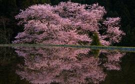 Primavera rosa flores, árbol, estanque, reflejo de agua, noche