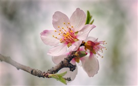 Spring, pink peach flowers bloom, twigs