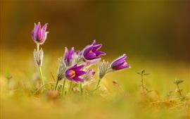 Spring, purple flowers, bokeh