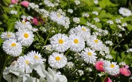 Aperçu fond d'écran Fleurs printanières, blanches et roses