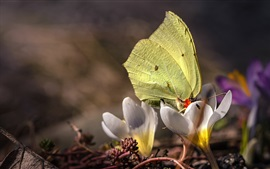 Primavera, açafrões brancos, borboleta amarela