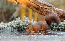 Squirrel drinking water, frost